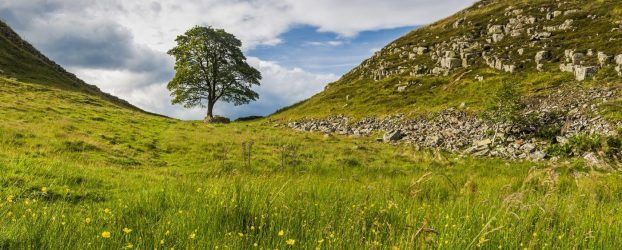 Sycamore Gap in summer