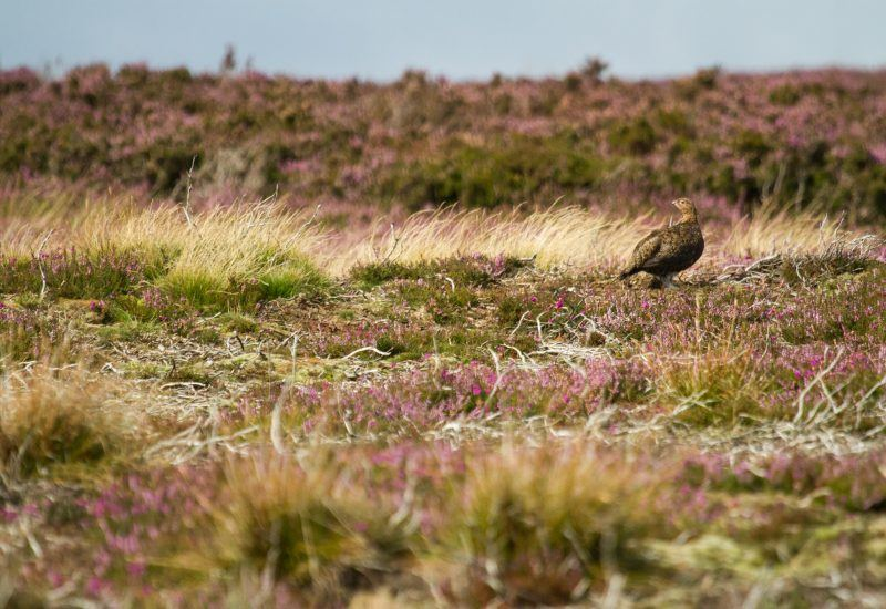Moorland habitat and a red grouse