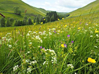 Barrowburn hay meadow