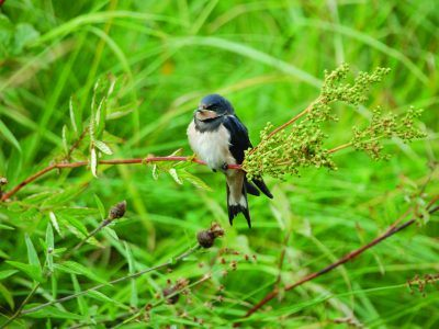 A swallow sat in a tree