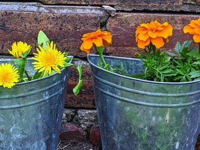 Colourful plants in tin pots