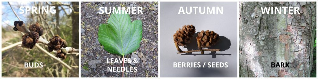 Four images; Ash tree buds for spring, a Sycamore leaf for Summer, two pine cones for Autumn and tree bark for winter
