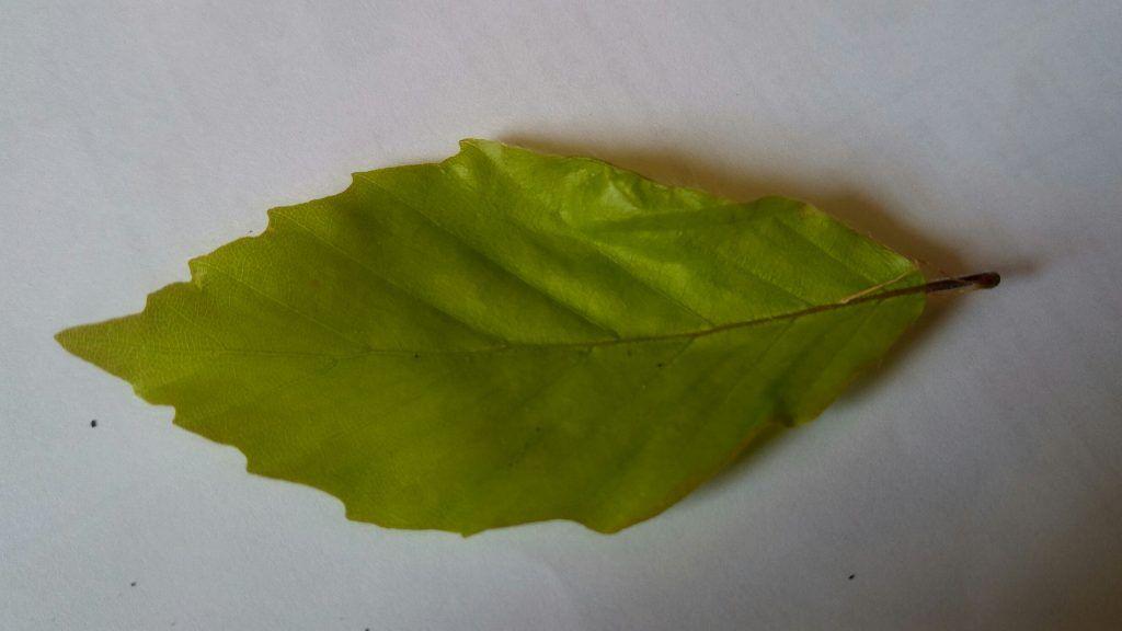 A Beech leaf