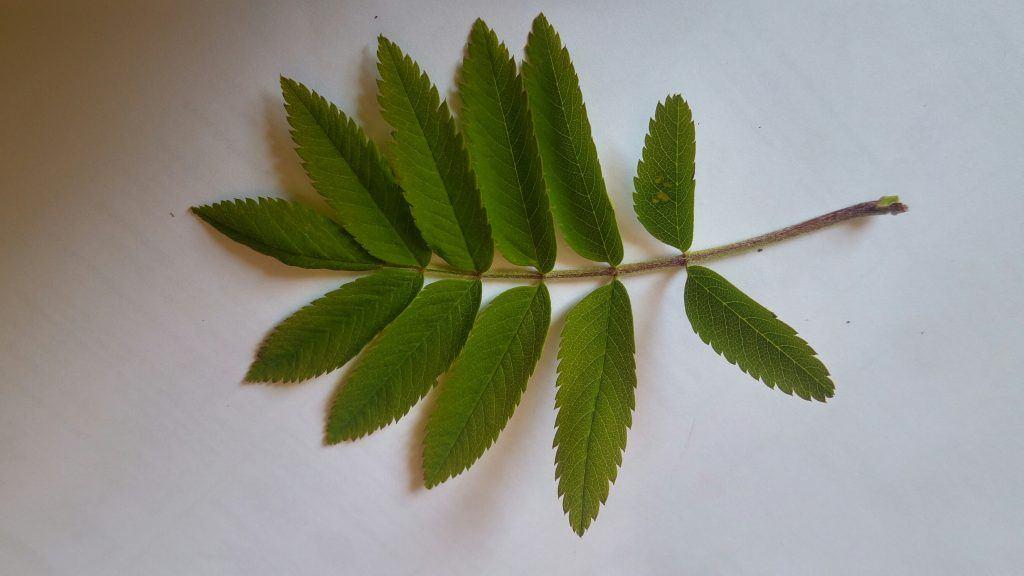 A Rowan tree leaf