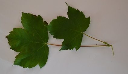 Two sycamore leaves