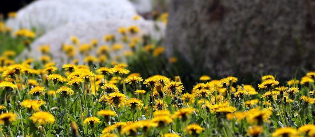 a meadow full of flowering dandelions