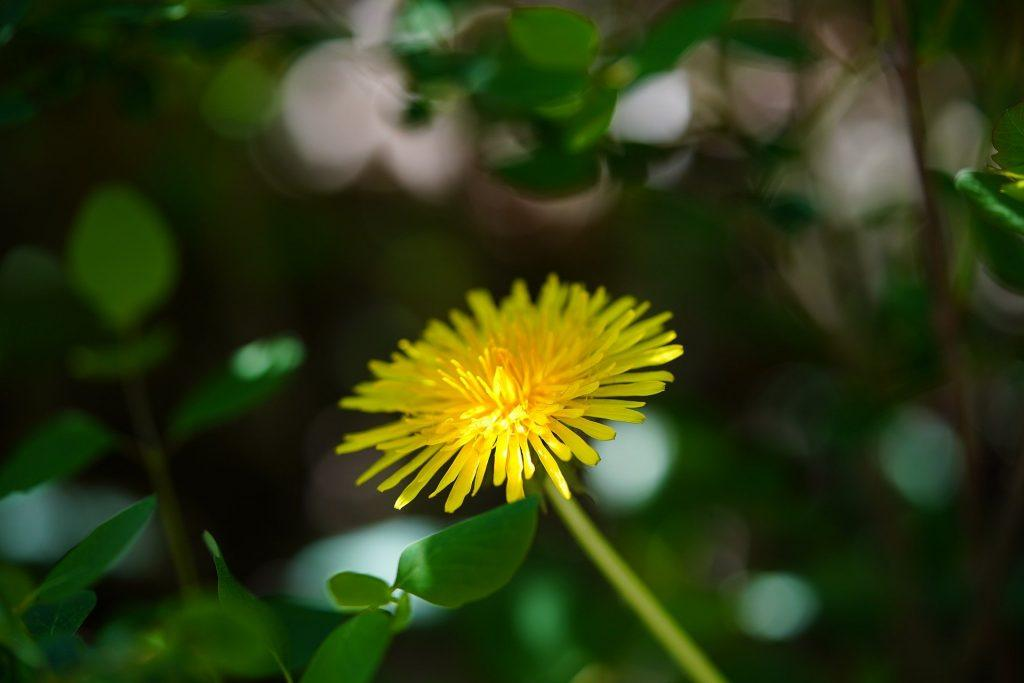 A flowering dandelion