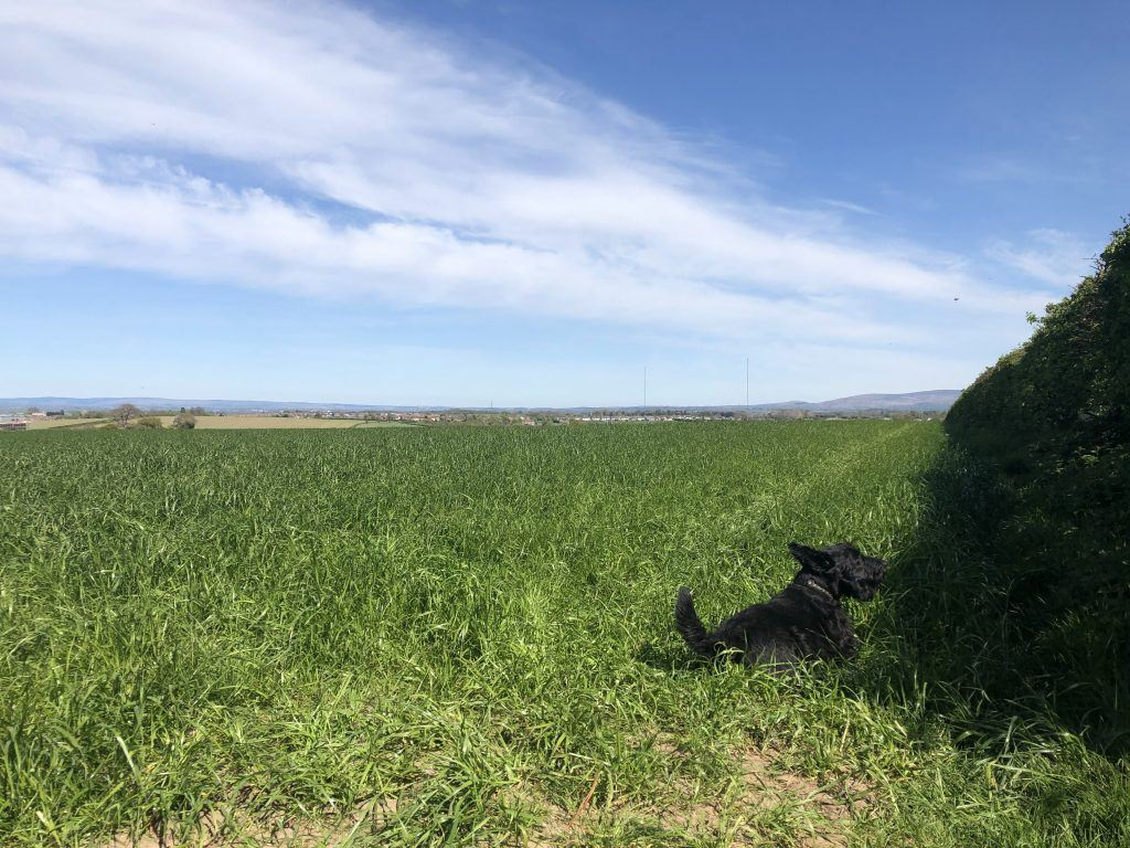 A black dog in a field of grass