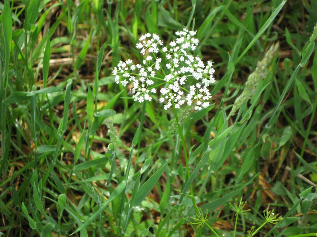 Pignut flowering in a meadow
