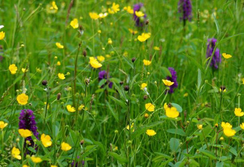 A wild flower meadow