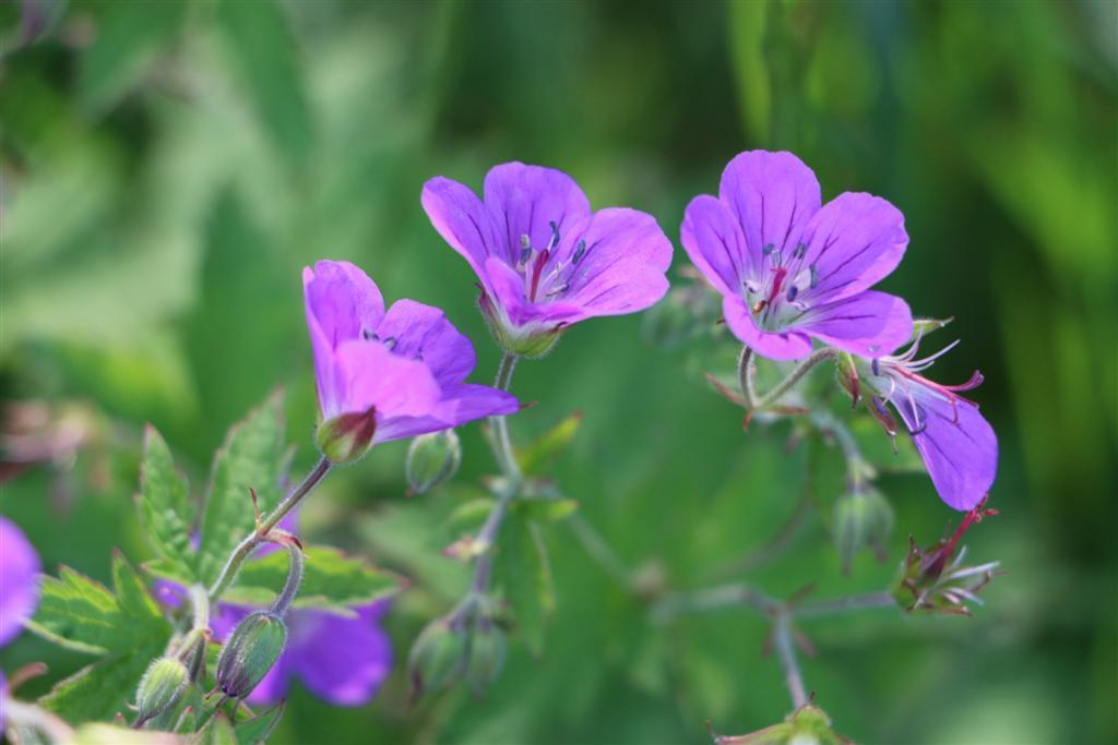 A flower Wood Cranesbill