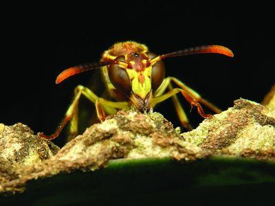 A close up photograph of a wasp