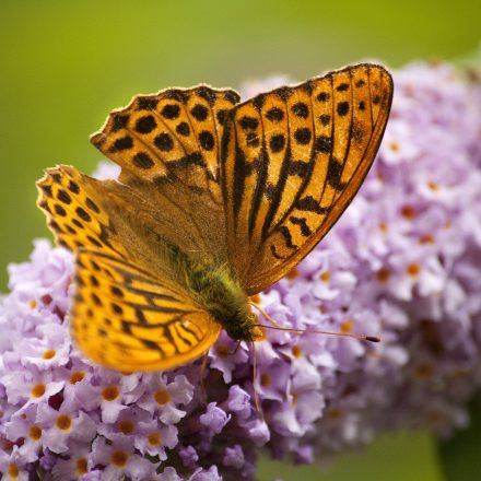 A Fritillary Butterfly