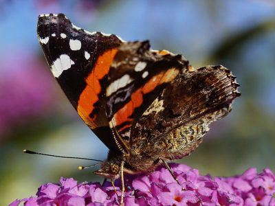 A close up of a red admiral butterfly